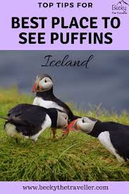 3 puffins together best place for seeing puffins in iceland