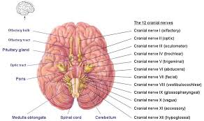 Human Anatomy Cranial Nerves Cranial Nerves Human Body