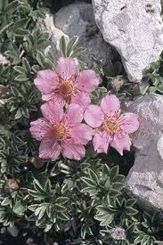 15 Potentilla nitida Seeds, Green Leaves, Pink ... - Amazon.com