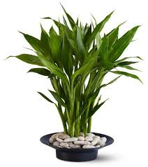plants feng shui home layout plants. Office Feng Shui Plants. Lucky Bamboo Plant For Your Home Or Plants Layout
