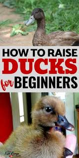 a quick start guide to raising ducks