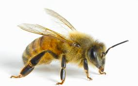Types Of Honey Bees And Their Attributes Beepods