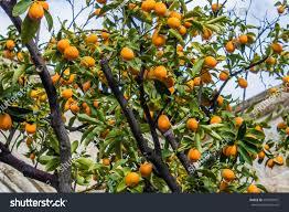 Limetta Citrus Limetta Mediterranean Sweet Lemon Marrakech Limetta Small Orange Fruit On Tree