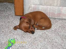 copper dachshund doxen