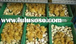 en egg incubators