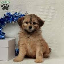 micky 725 00 paradise pa shih poo puppy