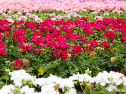 bedding plants sherbondy s southwest iowa horticulturalists growers