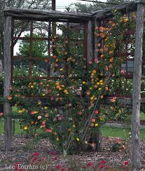 Vines That Handle Drought U2013 Learn About Drought Tolerant Climbing Climbing Plants Texas
