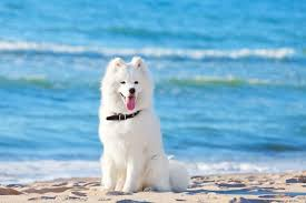 How Much Does A Samoyed Cost The Complete Buyers Guide