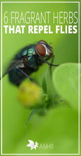 Must plant some of these ASAP for the fly problem here KWA