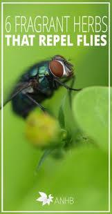 e4b2d a59b4d91beb0ecac plants that repel flies herb plants