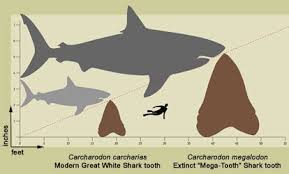 Shark Tooth Size Chart Shark Classification Is Based Mainly On Shape Of The Teeth