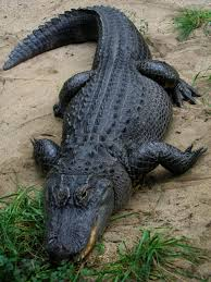 2017 Alligator Price Chart Florida American Alligator Wikipedia