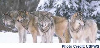 gray wolf pack. Plain Pack Distribution And Habitat Wolf Packs  Intended Gray Pack O