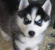 cute puppies with blue eyes. Interesting Eyes Cute White Husky Puppies With Blue Eyes For K