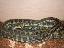 Baby Carpet Python For Sale Uk