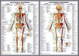 Wall Chart Of Human Anatomy Major Muscle Attachments Anatomy Poster Combo Chartex Ltd