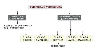 Phylum And Classes Classes Of Vertebrates All Classes Of