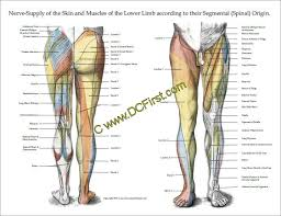 Nerve Chart Leg Nerve Innervation Of Upper And Lower Extremities