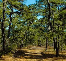 Image result for scrub pine