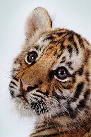 cute baby tiger wallpaper.  Baby Cute Tiger Cub Wallpapers Wallpapers U2013 Wallpapers For Desktop With Baby Wallpaper E