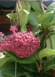 pink hoya plant to enlarge