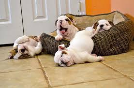 cute english bulldog puppy. Delighful Puppy Bulldog Puppies On Cute English Puppy L
