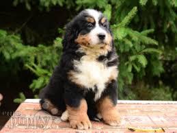 breeze bernese mountain dog