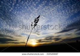 tall grass silhouette. Tall Grass Silhouette At Sunny Cloudy Golden Sunset, Quebec, Canada