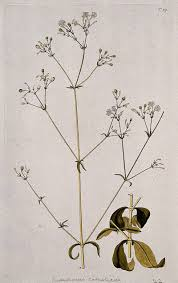 Campion (Silene catholica): two sections of flowering and fruiting ...