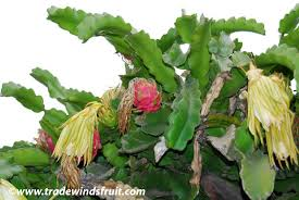 Dragon Fruit Tasting And Seed Planting  YouTubeHow To Take Care Of Dragon Fruit Tree
