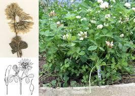 Trifolium michelianum Savi - Guida alla flora degli stagni temporanei ...