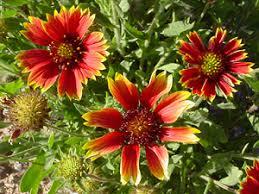 gaillardia pulca firewheel indian blanket blanket flower plant name