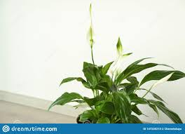 Light For Peace Lily Beautiful Peace Lily Plant Against Light Background Stock