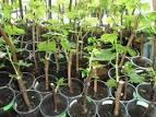 Выращивание черенков винограда в домашних условиях видео