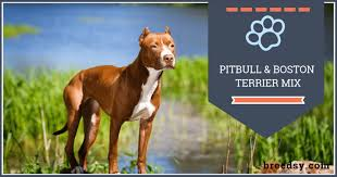 Boston Terrier Pitbull Mix Our Guide With Fun Facts And