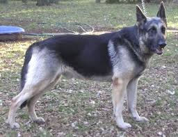 black and silver german shepherd. Simple And Jack A Beautiful Silver And Black German Shepherd  Adopt Pet From  Animal Referral Friends In Wimberley Texas On And