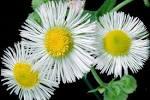 Images & Illustrations of daisy fleabane