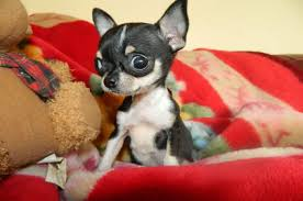 types of chihuahua full grown teacup chihuahua with big eye