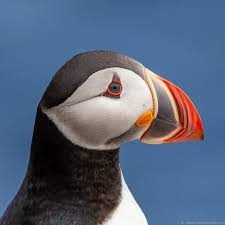 puffins in iceland guide iceland puffin