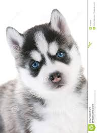 baby siberian husky with blue eyes. Exellent Husky Siberian Husky Puppy With Blue Eyes And Baby Husky With Blue Eyes E