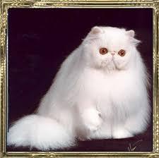 white persian cat. Beautiful Cat CopperEyedWhite Female For White Persian Cat C