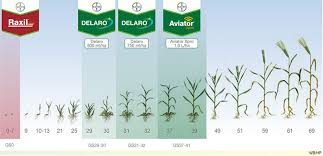 Winter Wheat Growth Stages Chart Planning For Barley Fungicide Disease Planner Tools