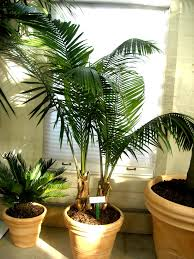 Radiant Palm Palm Piper Walter Knoll Florist Exotic Palm Trees in Indoor  Palm Plants