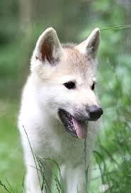 pure white wolf pup. Exellent Pup Cotton In Pure White Wolf Pup