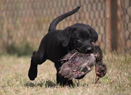 chocolate lab puppies wallpaper.  Chocolate Black And Chocolate Lab Puppies Wallpaper 1080p Inside Wallpaper O
