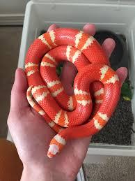 milk snake size snake day 171 album on imgur