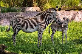 grevy s zebra and mother