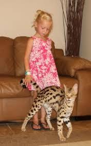 F1 Thru F5 Savannah Cat Size Guide African Cats Savannah