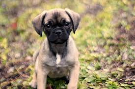Puggle Growth Chart Lucy The Puggle Dog Growth Spurts One Hundred Dollars A